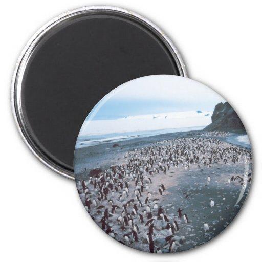 Adelie Penguins Fridge Magnets
