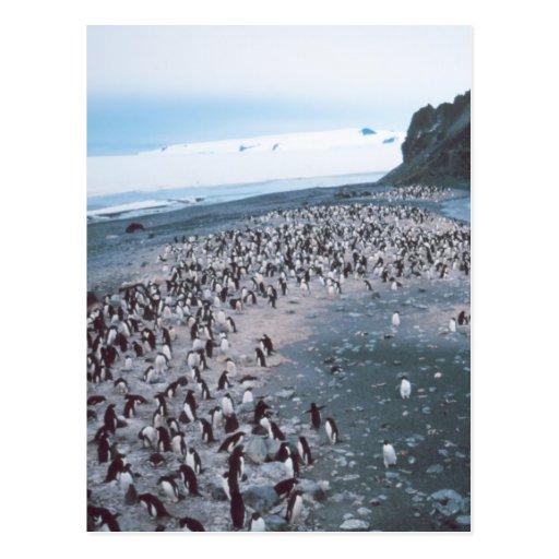 Adelie Penguins Post Cards