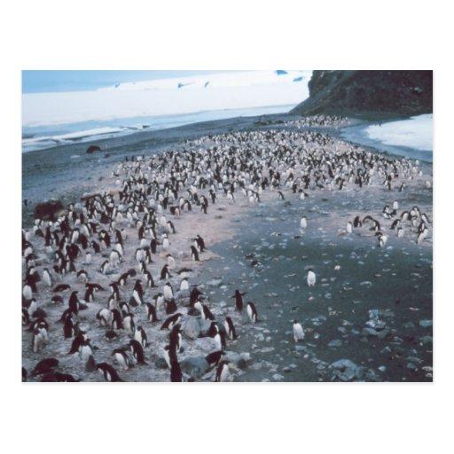 Adelie Penguins Postcards