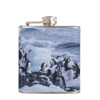 Adelie Penguins Pygoscelis adeliae) among the Hip Flask