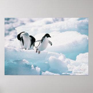 Adelie penguins (pygoscelis adeliae) Antarctica Poster