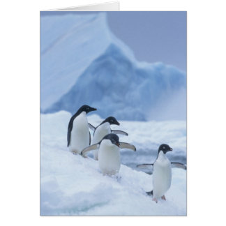 Adelie Penguins (Pygoscelis adeliae) on ice, Card