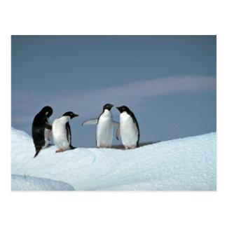 Adelite penguins, Antarctica Postcard