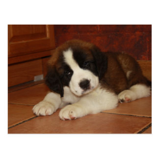 Adorable and Sweet St. Bernard Puppy Post Card