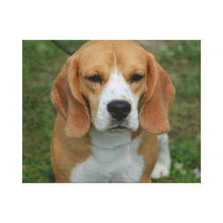 Adorable Beagle Gallery Wrapped Canvas