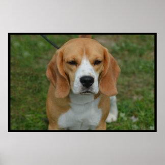 Adorable Beagle Print