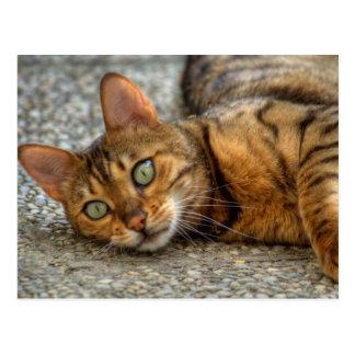 Adorable Bengal Cat Postcards