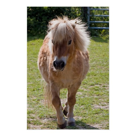 Adorable chestnut shetland pony poster gift idea