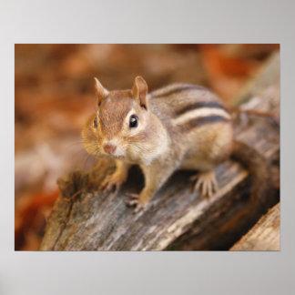 Adorable chipmunk poster