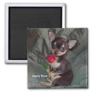 Adorable Cute Baby Chihuahua Merry Rose Square Magnet