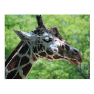 Adorable Giraffe Postcard