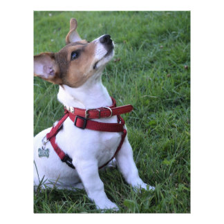 adorable jack russell terrier  puppy obedient dog 21.5 cm x 28 cm flyer