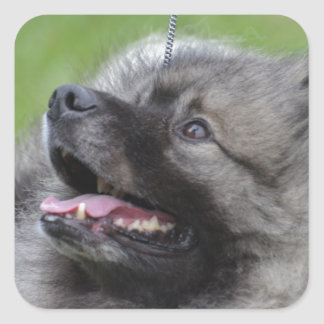 Adorable Keeshond Square Sticker