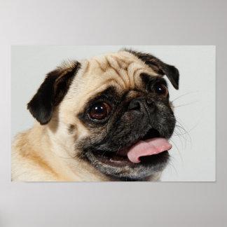 adorable pug dog poster