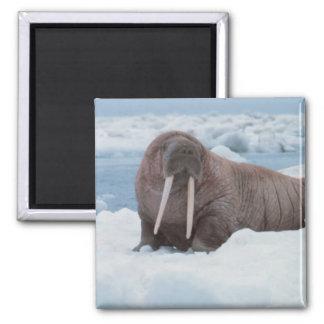 Adorable Walrus Magnet