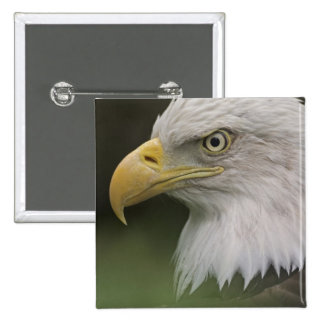 Adult Bald Eagle Portrait, Haliaeetus 15 Cm Square Badge