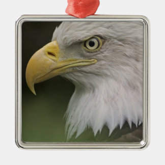 Adult Bald Eagle Portrait, Haliaeetus Christmas Ornament