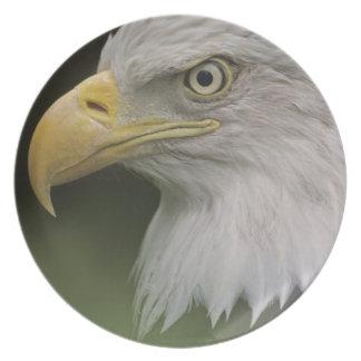 Adult Bald Eagle Portrait, Haliaeetus Plate