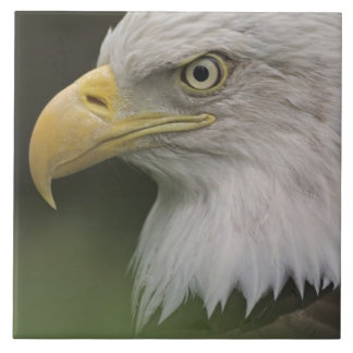 Adult Bald Eagle Portrait, Haliaeetus Tile