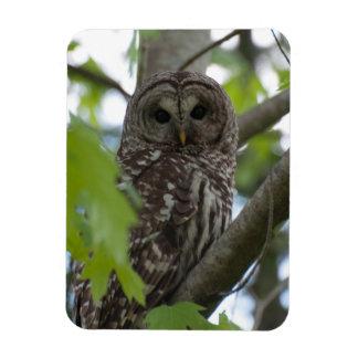 Adult Barred Owl Magnet