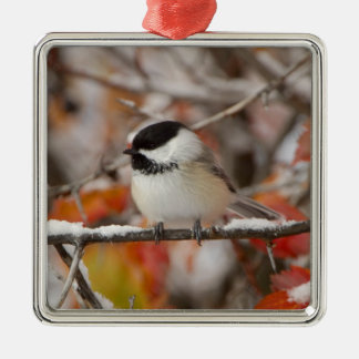 Adult Black-capped Chickadee in Snow, Grand Christmas Ornament