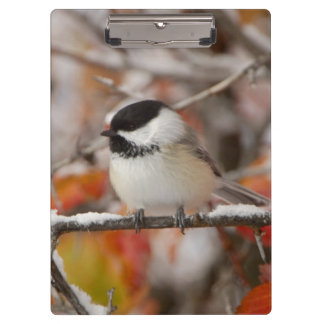 Adult Black-capped Chickadee in Snow, Grand Clipboard