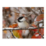 Adult Black-capped Chickadee in Snow, Grand Postcard