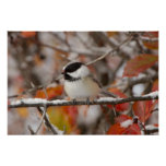Adult Black-capped Chickadee in Snow, Grand Print