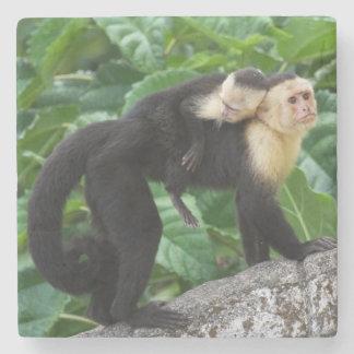 Adult Capuchin Monkey Carrying Baby On Its Back Stone Coaster