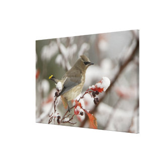 Adult Cedar Waxwing on hawthorn with snow, 2 Canvas Print