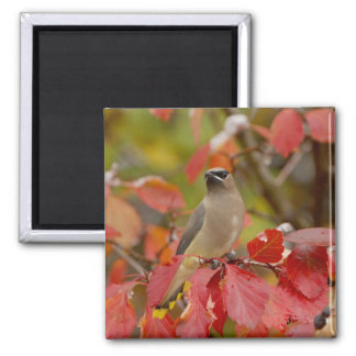 Adult Cedar Waxwing on hawthorn with snow, 2 Magnet