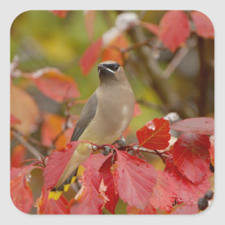 Adult Cedar Waxwing on hawthorn with snow, 2 Square Sticker