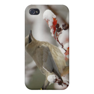 Adult Cedar Waxwing on hawthorn with snow, 3 Case For iPhone 4