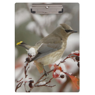 Adult Cedar Waxwing on hawthorn with snow, 3 Clipboard