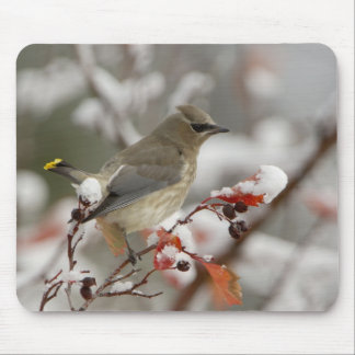 Adult Cedar Waxwing on hawthorn with snow, 3 Mouse Pad