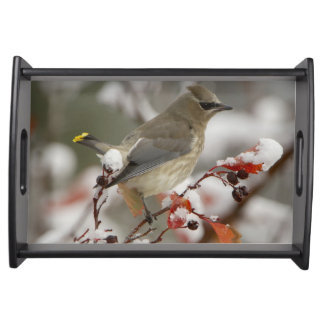 Adult Cedar Waxwing on hawthorn with snow, 3 Serving Tray