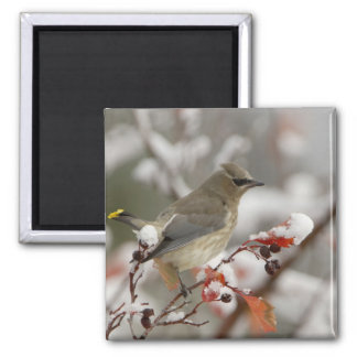 Adult Cedar Waxwing on hawthorn with snow, 3 Square Magnet