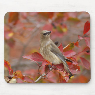 Adult Cedar Waxwing on hawthorn with snow, 4 Mouse Pad
