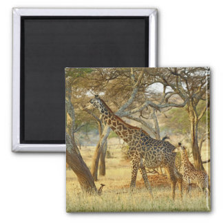 Adult female and juvenile Giraffe, Giraffa Square Magnet