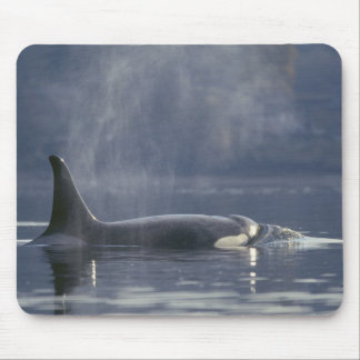 Adult female Orca Whale Orcinus Orca), Puget Mouse Mat