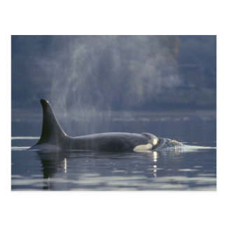 Adult female Orca Whale Orcinus Orca), Puget Postcard