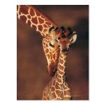 Adult Giraffe with calf (Giraffa camelopardalis) Postcard