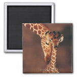 Adult Giraffe with calf (Giraffa camelopardalis) Square Magnet
