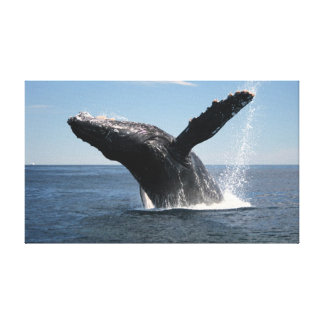 Adult Humpback Whale Breaching Canvas Print
