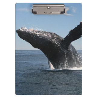 Adult Humpback Whale Breaching Clipboard