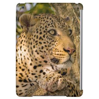 Adult Leopard (Panthera Pardus) Rests