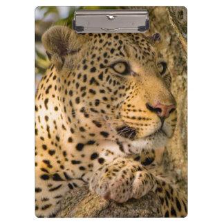 Adult Leopard (Panthera Pardus) Rests Clipboard