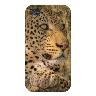 Adult Leopard (Panthera Pardus) Rests iPhone 4 Cover