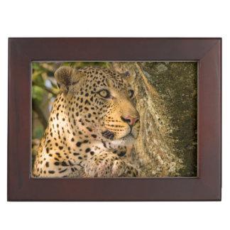 Adult Leopard (Panthera Pardus) Rests Keepsake Box