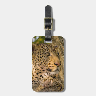 Adult Leopard (Panthera Pardus) Rests Luggage Tag